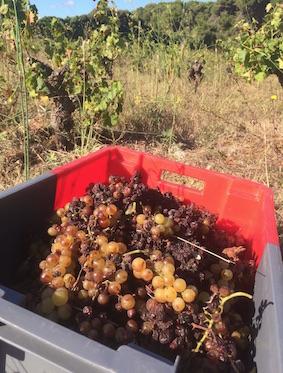 Des raisins aériens : Vendanges du Muscat de Mireval au Clos de Miège