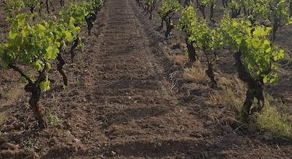 Vignes en agriculture bio labouré