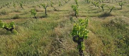 Parcelle de vignes bio enherbée