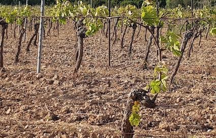 Glyphosate dans la vigne