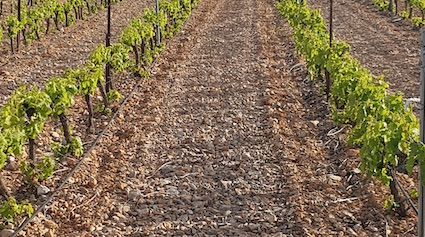 Vigne traitée et labourée