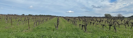 Enherbement des vignes