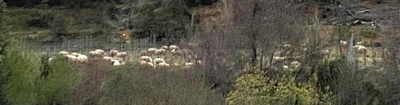 Moutons dans le vignoble